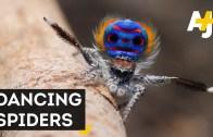 Seven New Species Of Peacock Spiders