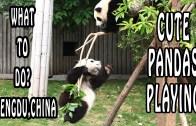 Pandas Playing At Chengdu Panda Reserve