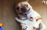 Cute French Bulldog Gets A New Baby Brother