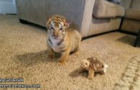 These Adorable Baby Tigers Will Make Your Day