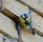 Plavetna sjenica (Parus caeruleus)-Blue tit