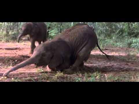 African Animals Getting Drunk