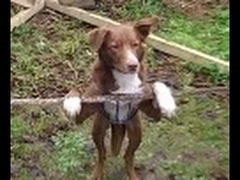 Amazing Acrobatic Rope Balancing Dog