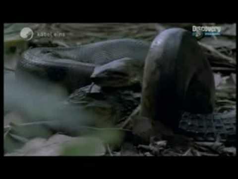 Anaconda vs Crocodile (Caiman)