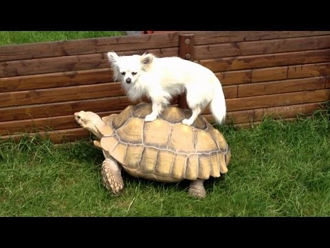 Animals Using Turtles As Taxi