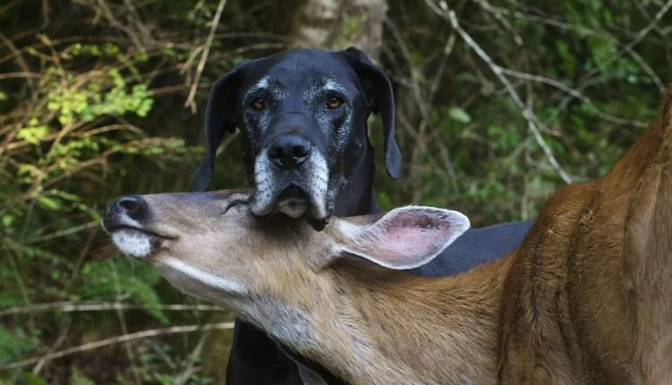 Best Friends – A Dog And A Deer