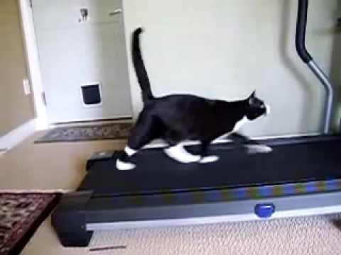 Cat Running on Treadmill