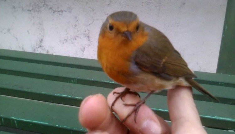 Cute Little Robin Birds