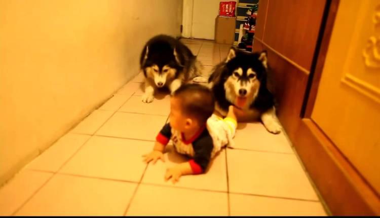 Dogs Imitate Baby Crawling