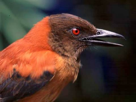First Scientifically Confirmed Poisonous Bird