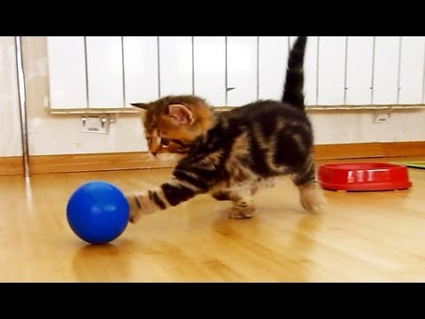 Funny Cat Football Player