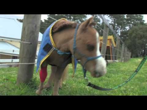 Koda – The Smallest Horse In Australia