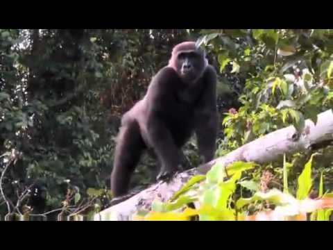 Man's Reunion With A Gorilla