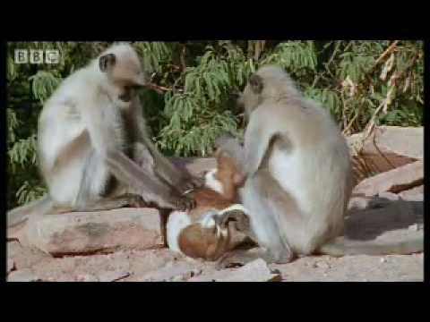 Monkeys play with cute puppy – Monkey Warriors
