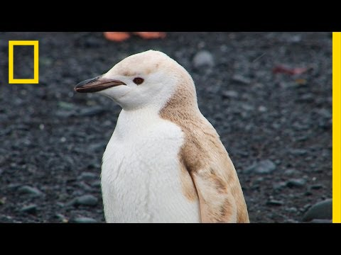 Mutant Blond Penguin Spotted In Antarctica