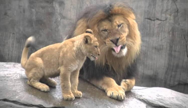 Papa Lion Meets Baby Cubs