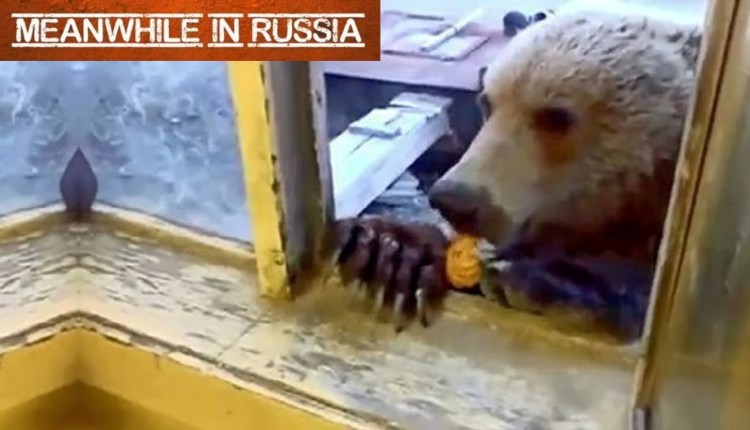 Russian Man Feeding A Wild Bear Through A Window