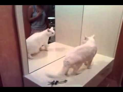 Smart Cat Fighting With Own Mirror Cat