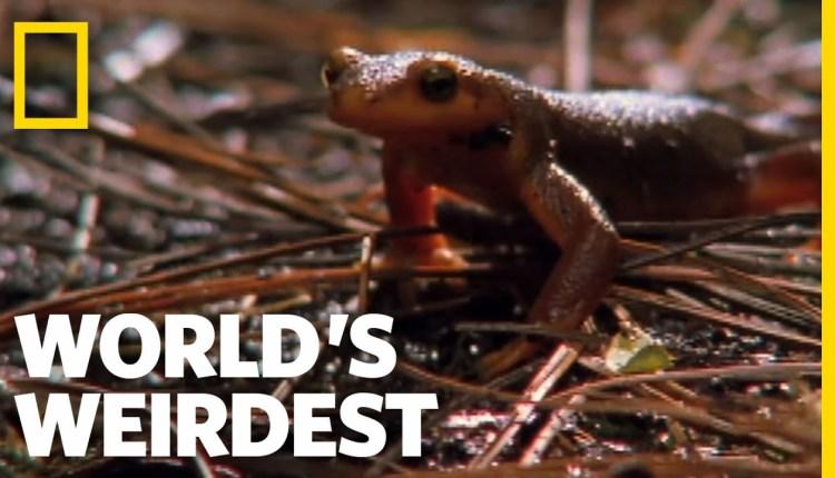 Worlds Weirdest Swallowed Newt Escapes Death