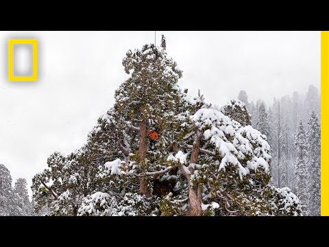 Climbing A Giant Sequoia Tree