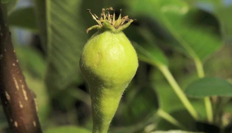 Pear Flower To Fruit Swelling Time Lapse
