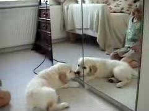 Puppy Attacks Mirror (Funny)