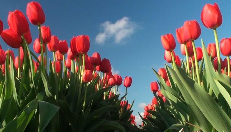 Tulips Fields in Keukenhof, Netherlands