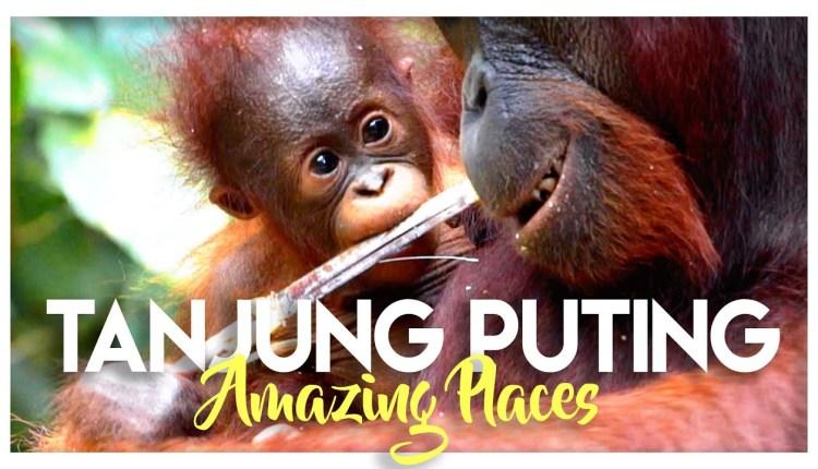 The Wild Orangutans Of Indonesia