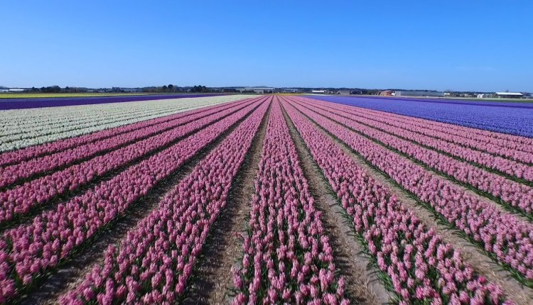 These Dutch Tulip Fields Are Too Good To Watch
