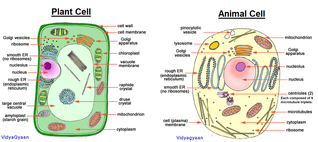 Cell Anatomy Functions Plant Cell Diagram Plant Cell Organelles