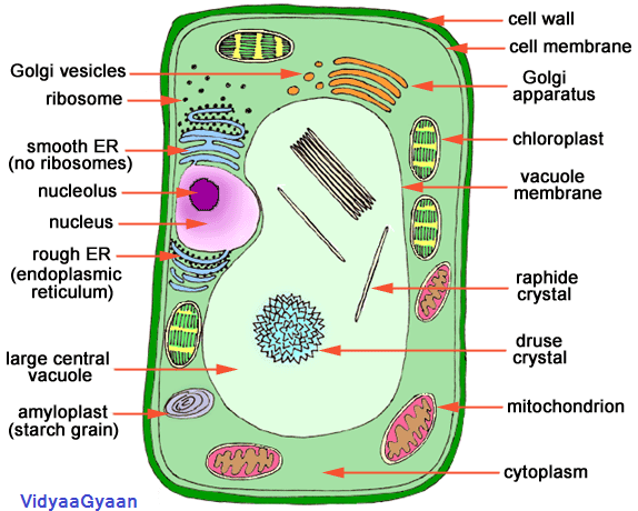 cell stucture of Plant cell - VidyaGyaan
