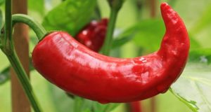chilli in hindi