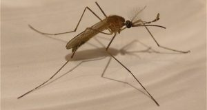 mosquito meaning in hindi