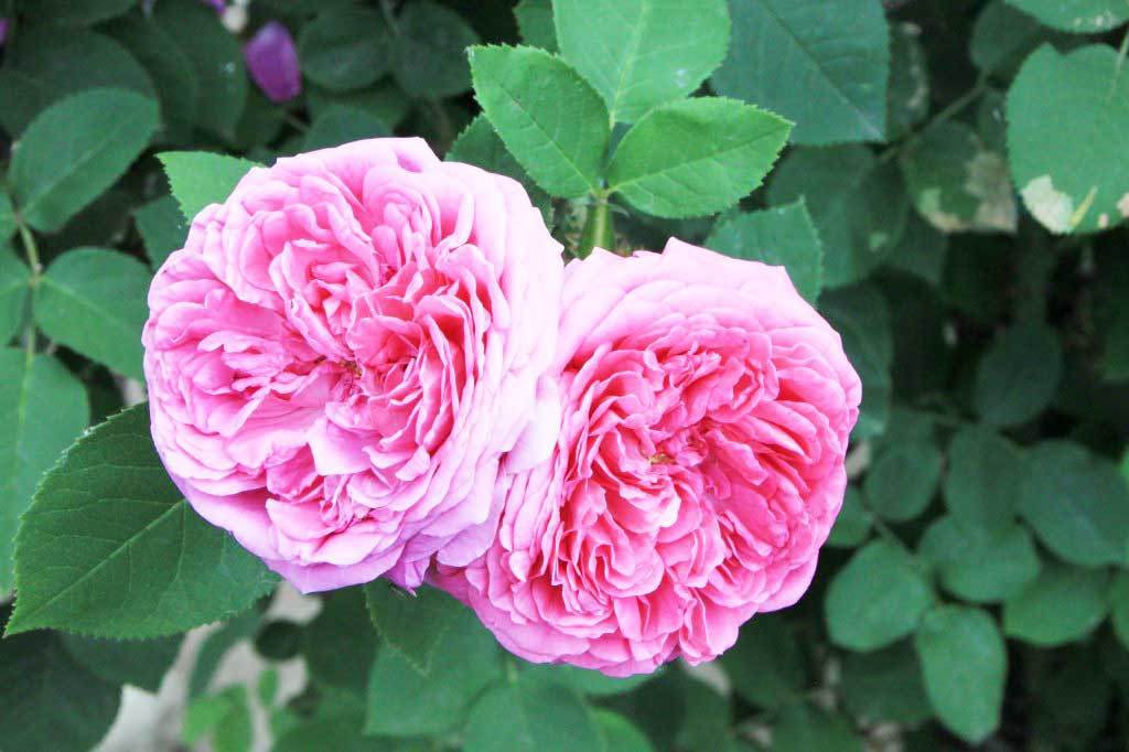 Rosa damascena: come coltivarla al meglio