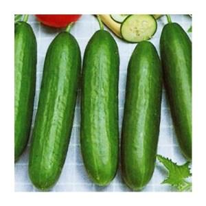 cetriolo verde f1 in vaschetta da 4 piante