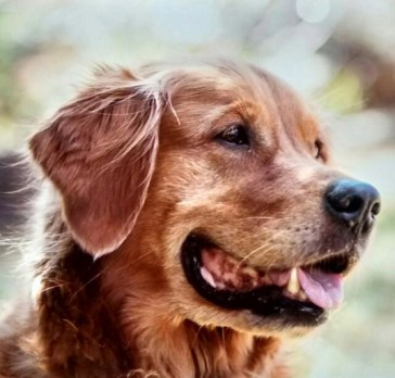 Portrait des Golden Retriever Benny