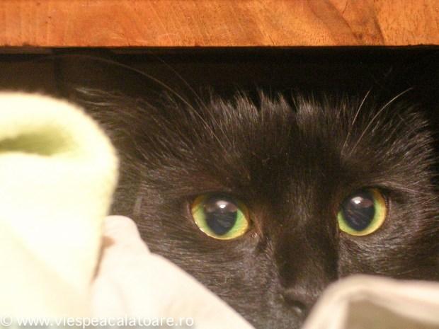 pisica de viespea
