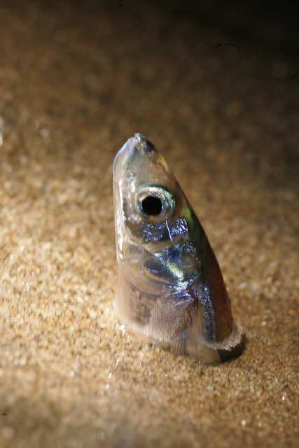 female grunion laying eggs
