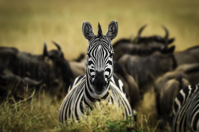 Zebra by Batu - The Wonders of the World Photo Contest