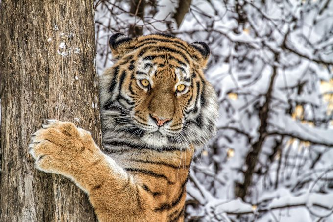 siberian tiger at the tree by icefish - The Wonders of the World Photo Contest