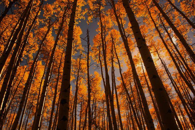 Colorado Aspens by ericakinsella - Orange Tones Photo Contest