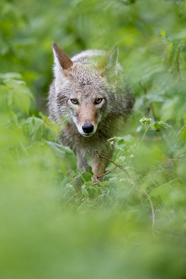 Coyote by brandonbroderick - The Wonders of the World Photo Contest