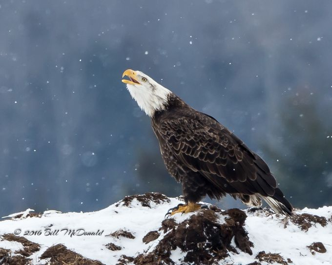Bald Eagle having his say ! by Grenfell - Celebrating Nature Photo Contest Vol 5