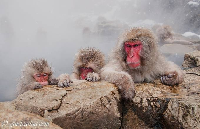 Snow monkeys sulking by cchyeoh - The Wonders of the World Photo Contest