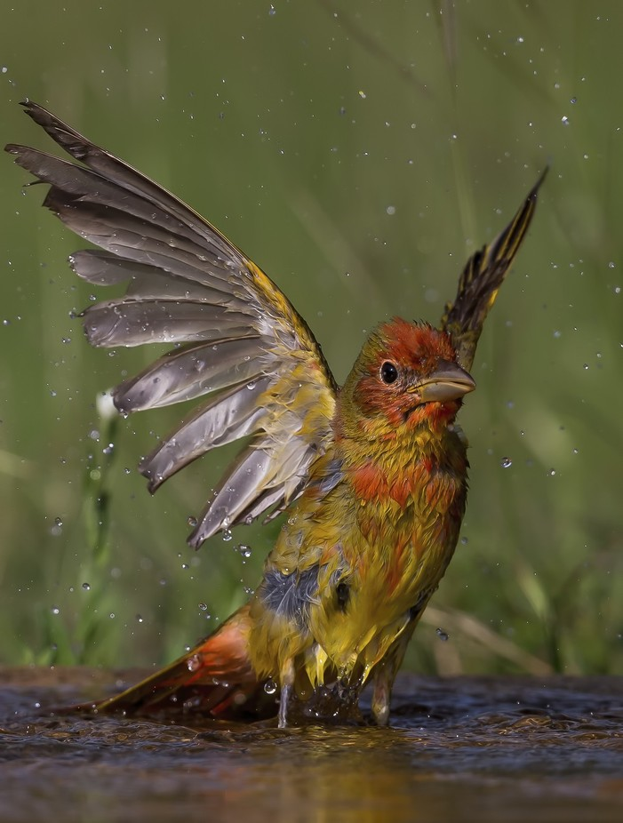"""Summer Tanager"" by DeanSmithPhotography - Celebrating Nature Photo Contest Vol 5"