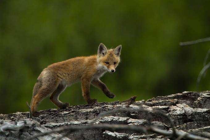 Fox pup  (1 of 1) by Opticalimpressions - Celebrating Nature Photo Contest Vol 5