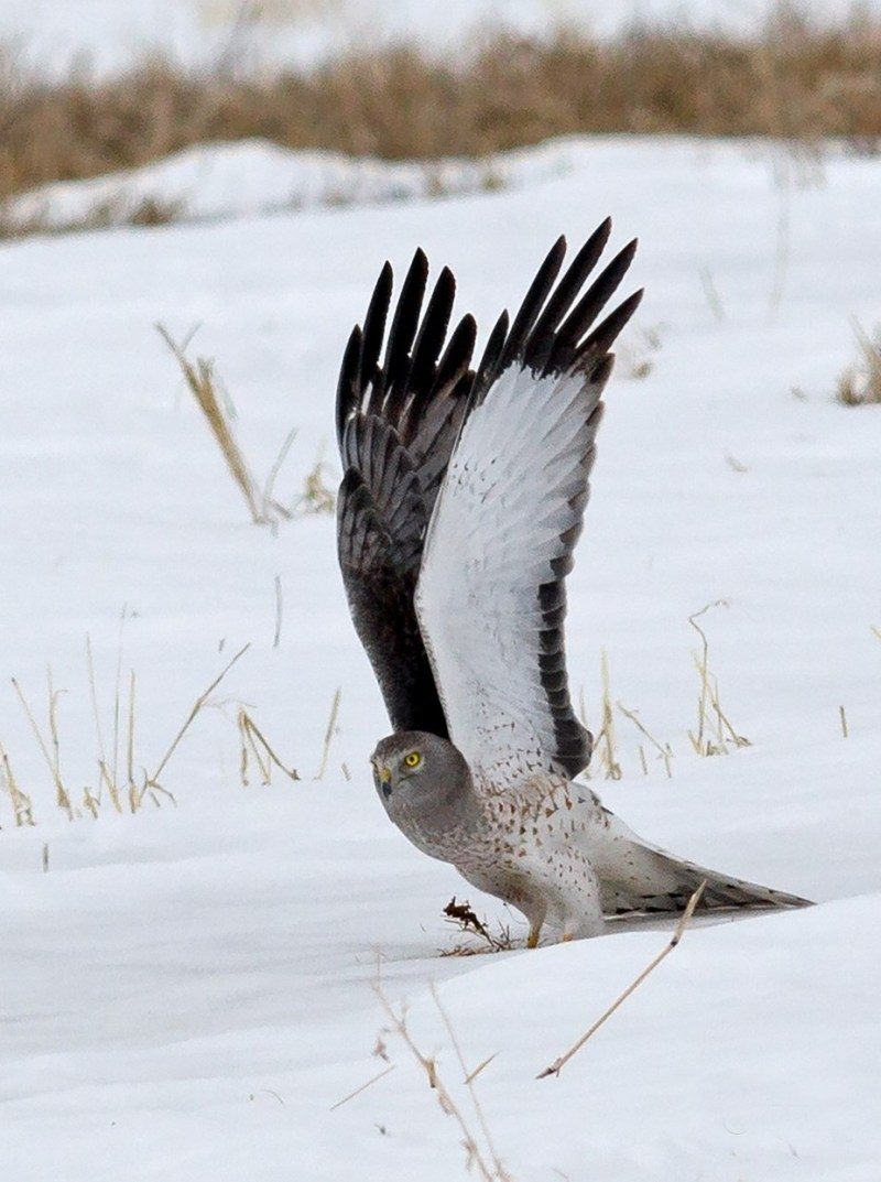 Northern Harrier Take-off by animalartist - Celebrating Nature Photo Contest Vol 5