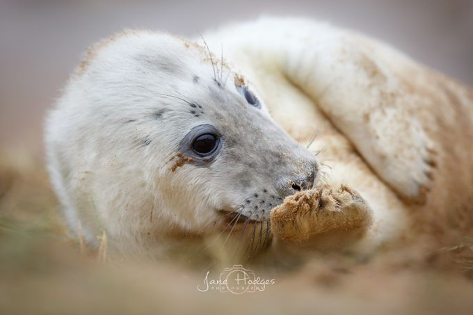 Grey pup cleaning by janehodges - Celebrating Nature Photo Contest Vol 5