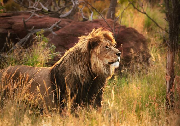 The Lion king by johankoch - Celebrating Nature Photo Contest Vol 5