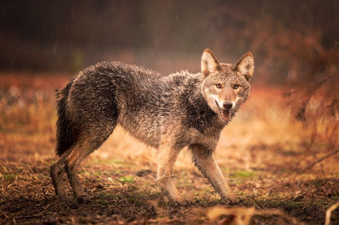 NC Coyote  by ericamo10 - Celebrating Nature Photo Contest Vol 5